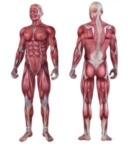 иллюстрация мышечной анатомии
