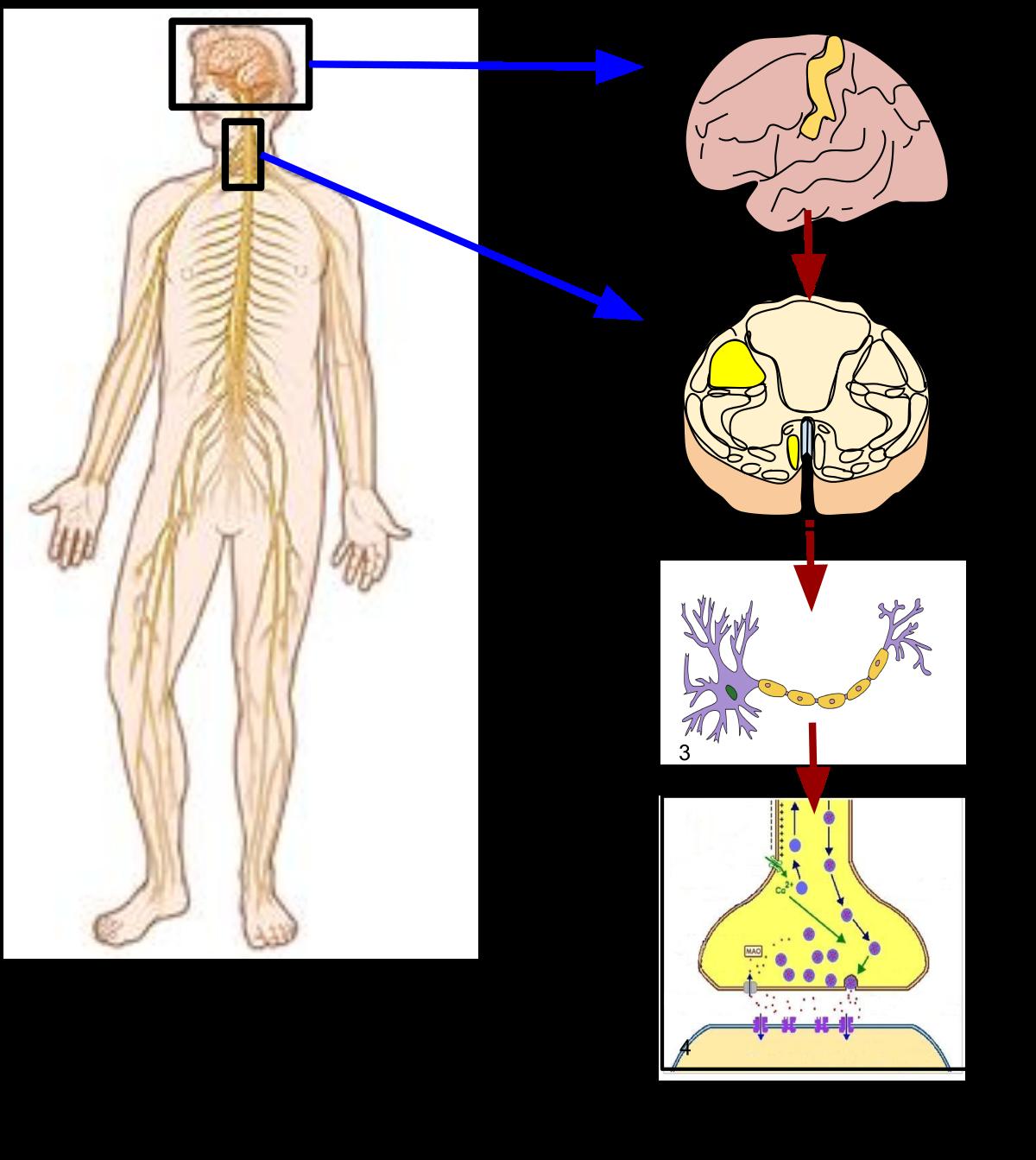 Иллюстрация того, как нервы проходят через тело